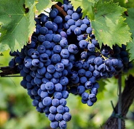 Sangiove Trauben für den hauseigenen Wein <br>© Kulturtouristik (Hotel)