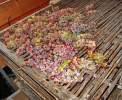 Trocknen der Trauben für Passito Wein, wie den berühmten Amarone <br>© Kulturtouristik